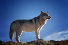 wolf-142173_960_720